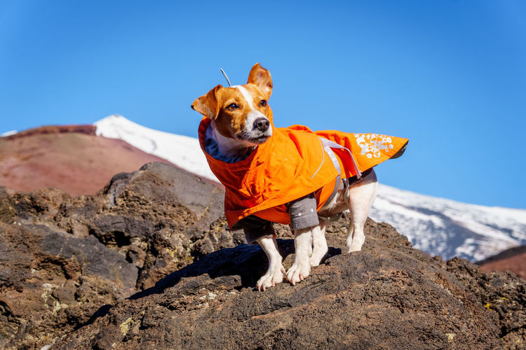 Tsunami the jack russell terrier dog standing on volcanic rock in an orange jacket