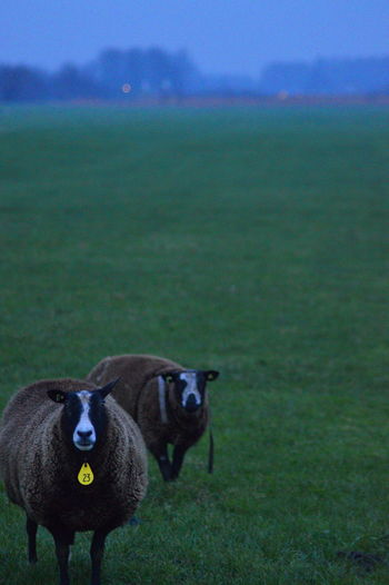 Sheep On Grassy Field