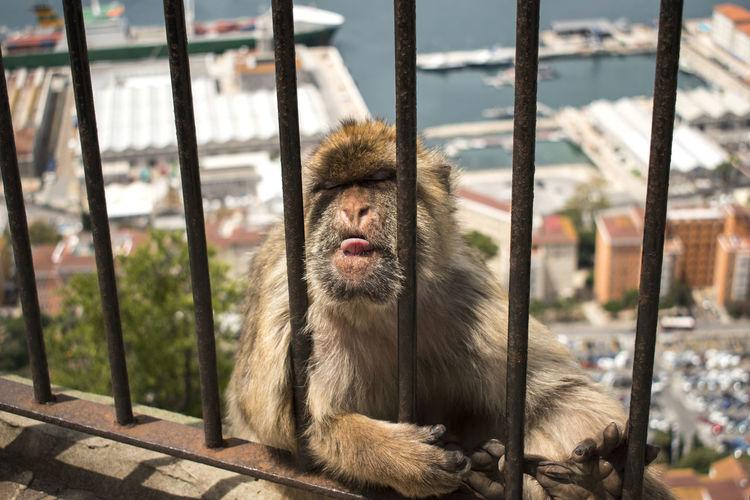 Close-Up Of Monkey Behind Fence