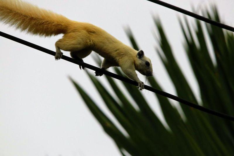 Lemur Perching