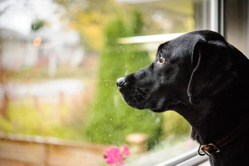 Black Labrador Retriever dog looking out the window on a rainy day Dog Black Labrador Black Lab Labrador Black Window Rain Rainy Day Looking Out Of The Window Looking Out Weather Indoors  Pets Animal Themes