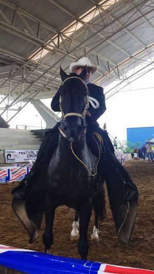 Gran campeón trote y galope festival equino Dosquebradas 2016 malevolo de villa tuti del rancho el álamo de Pereira Caballocriollocolombiano