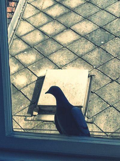 Roof Rofftop Bird Animal Pigeon Budapest