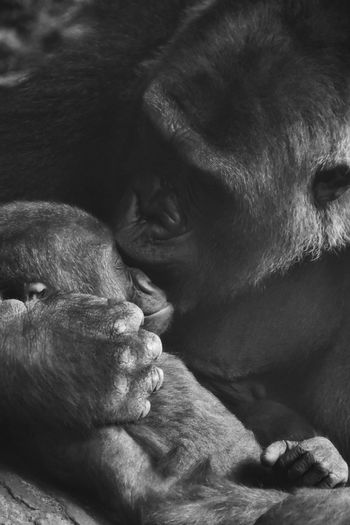 Close-up of gorilla kissing infant