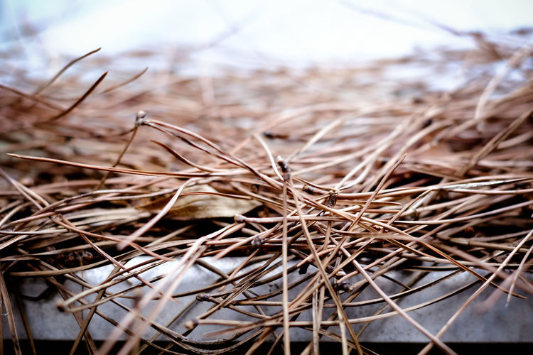 Close-up of dried twigs of fir tree on roof