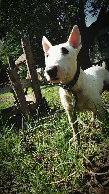 Dog Love Dog Photography Bullterrier Jurphoto