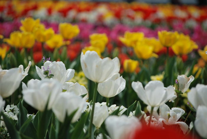 """Tulips from their beds.. Flaunted their stately heads."" ― James Montgomery 