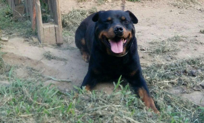 Dog Lover Dog Life Rotvajler Dog