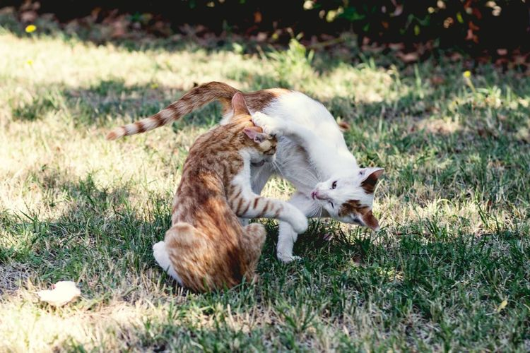 Catfight Moments Of Life Fight Fighter Catfight Movement Photography Cat Lovers Catoftheday Cats 🐱 Twins Twin Brothers Cats Of EyeEm Catsoftheworld Catslife Pets Feline Animal Themes Grass Close-up Whisker Tail Paw Tabby Carnivora Ginger Cat Stray Animal Animal Leg Kitten Yellow Eyes Cat