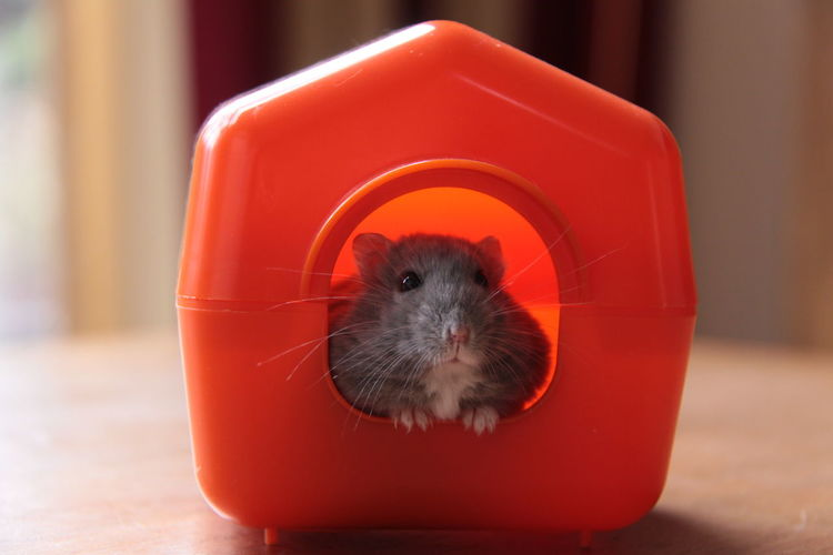 Animal Animal Themes Animal Wildlife Close-up Day Domestic Animals Focus On Foreground Hamster Hamster Life Mammal No People One Animal Pets Portrait Red
