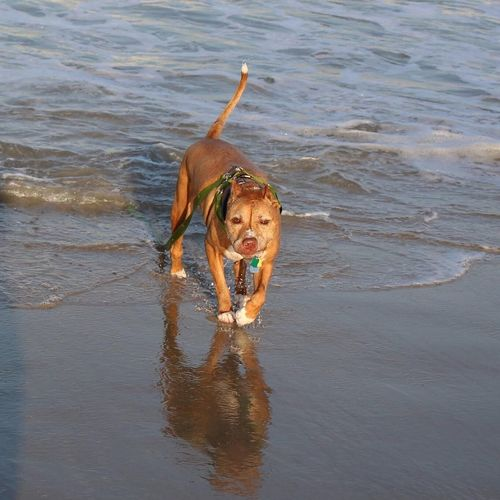The Real McCoy OBX Pitbull Beachphotography Saltlife First Eyeem Photo Pet Portraits