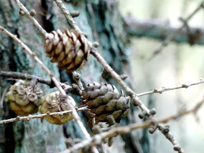 Close-up of pine cone on branch