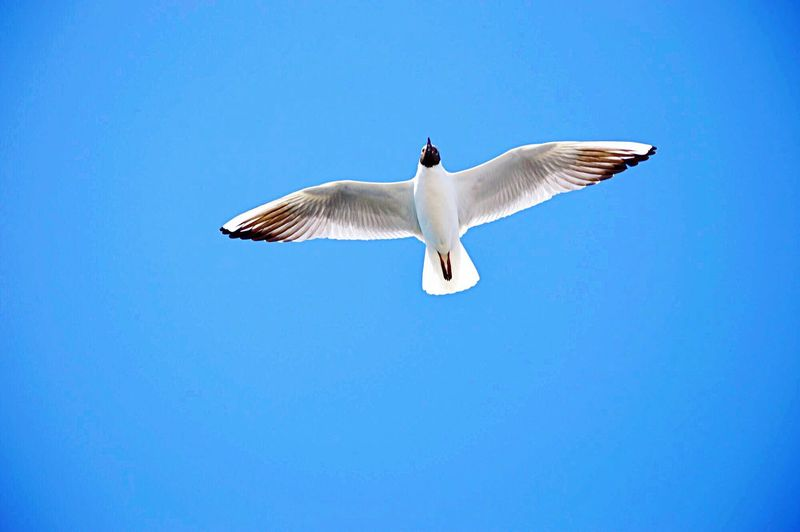 Flying Blue Animal Animal Themes Sky Animal Wildlife Vertebrate Animals In The Wild Motion Bird Clear Sky Copy Space Spread Wings One Animal No People Outdoors Low Angle View Nature Mid-air Day
