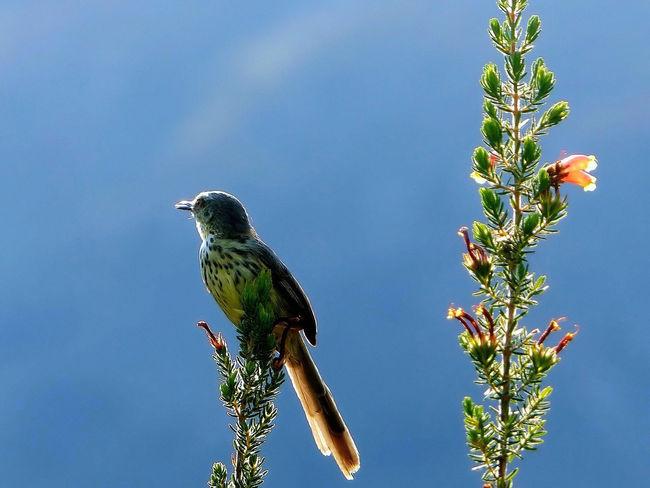 Bird in Kristenbosch Birds Kirstenbosch South Africa Botanical Gardens