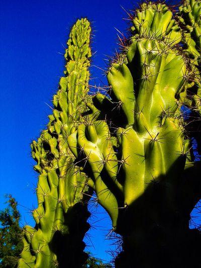 Cactus Green Green Cactus blue Blue Sky