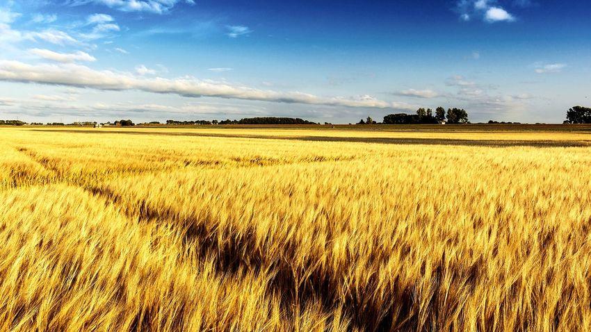 Graanveld bij zonsondergang EyeEm Selects Rural Scene Cereal Plant Agriculture Tree Field Sky Landscape Cloud - Sky Cultivated Land Farmland Wheat Crop  Farm Rye - Grain Agricultural Field