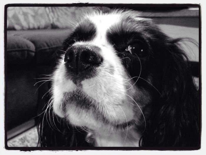 Cavalier King Charles Spaniel - Cessie #cavalier #cavalierking #charlesspaniel Dog #female #doggy #iphonephoho Iphonephotography #snapseed Black And White