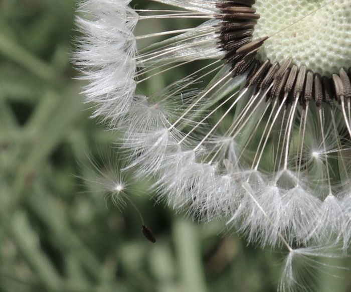 Fragility Dandelion Plant Close-up Vulnerability  Flower Beauty In Nature Flowering Plant Nature