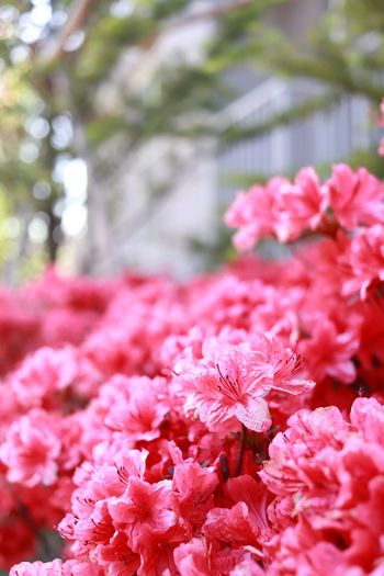 Flowering Plant Flower Plant Pink Color Freshness Beauty In Nature Fragility Growth Day Nature Flower Head Focus On Foreground Selective Focus No People Close-up Springtime Vulnerability  Petal Inflorescence Botany
