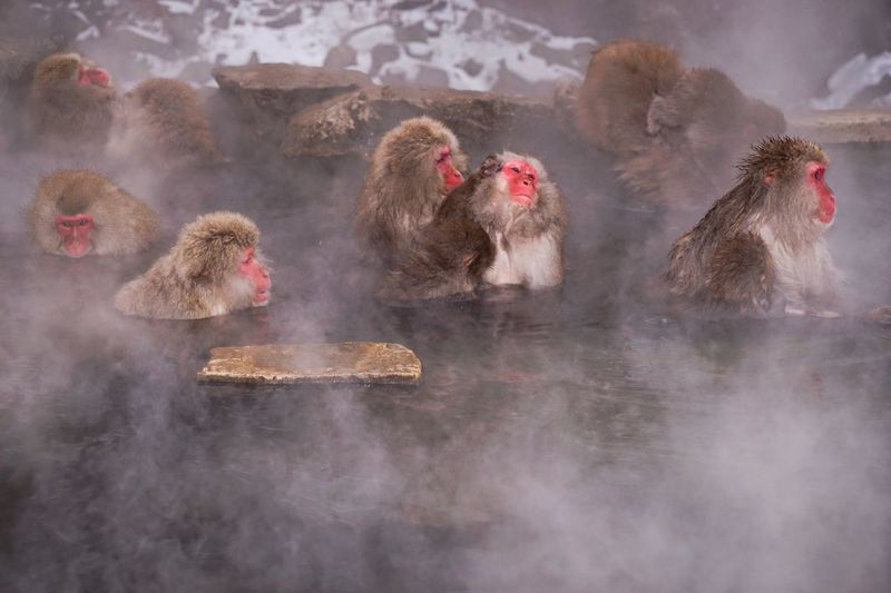 Baboons In Hot Spring