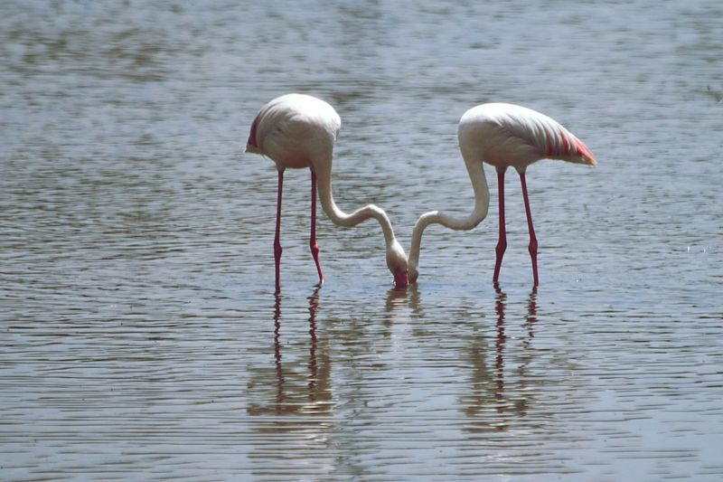 Symmetry in the wildlife Bird Water Animals In The Wild Vertebrate Animal Wildlife Group Of Animals Animal Themes Flamingo