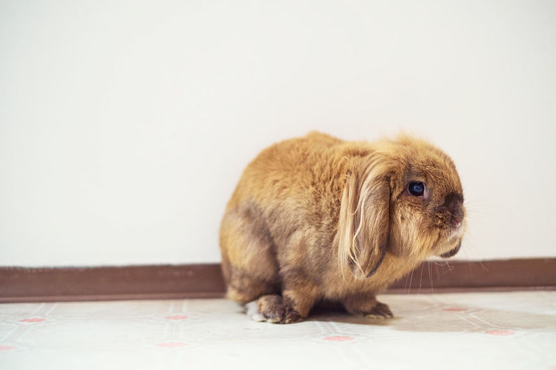 Close-up of rabbit sitting on floor against wall