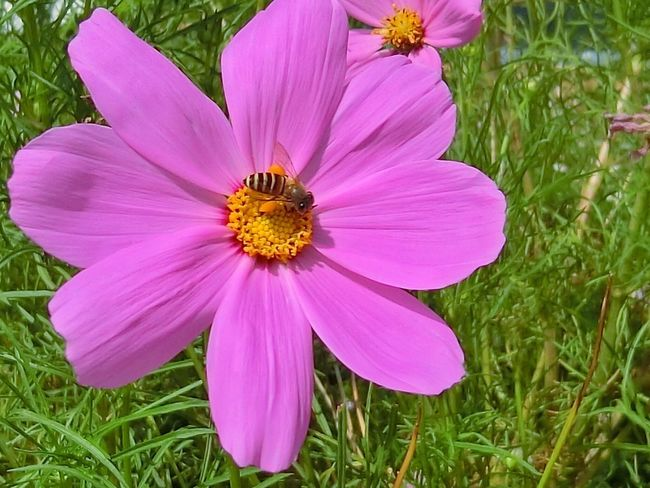 Flower Petal Flower Head Pink Color Beauty In Nature Nature Fragility Freshness Growth Cosmos Flower No People Pollen Outdoors Plant Close-up Grass Day Blooming Crocus Eastern Purple Coneflower