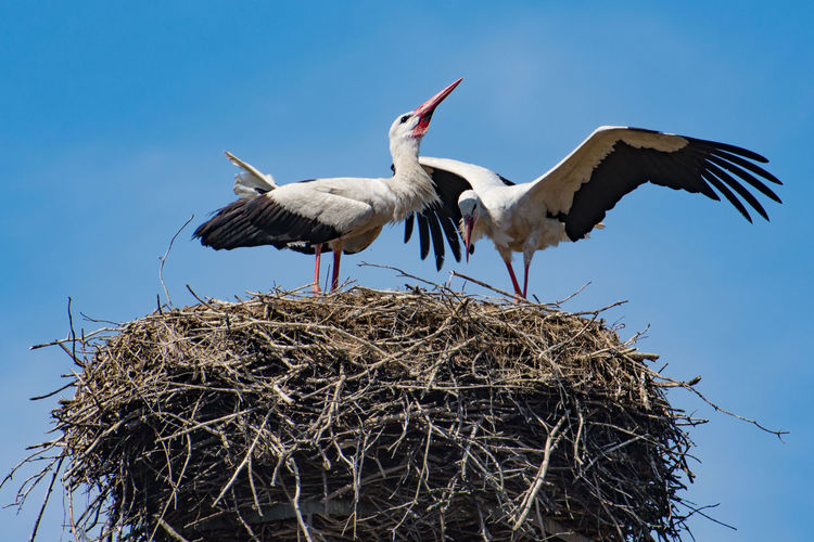 Close-up of white storks perching on bird nest against clear sky
