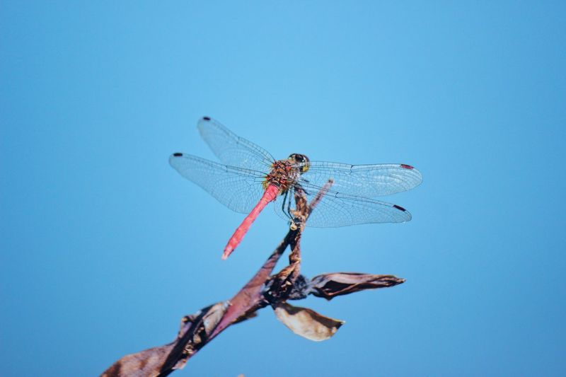 Dragonfly on focus. Japan Japan Photography Reflection Pond Water Dragonfly Naturelovers Blue Nature Sky Animal Wildlife No People Animals In The Wild Animal Themes Close-up One Animal Animal Invertebrate Dragonfly Insect Outdoors Day Plant Clear Sky Fragility Beauty In Nature Animal Wing