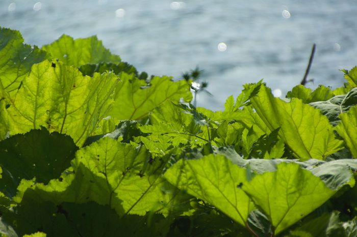 So big Leaf Green Color Water Nature Growth Plant Outdoors Beauty In Nature No People Freshness Close-up Day Fragility EyeEmNewHere