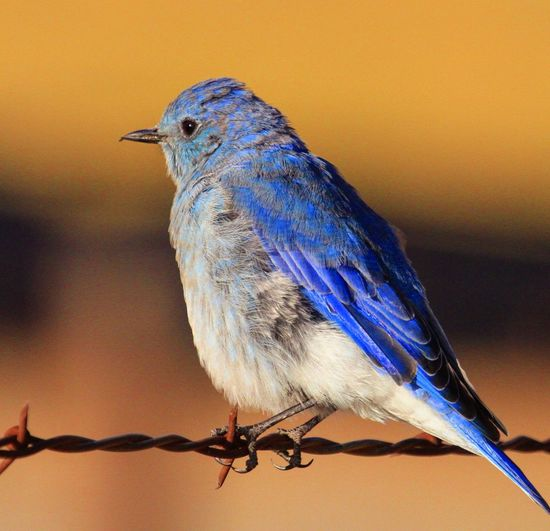 Mountain Bluebird, Herriman, Utah...9/10/2017. Bird Animal Wildlife Animals In The Wild Perching One Animal Animal Themes Nature Full Length No People Close-up Day Outdoors Beauty In Nature Bluebird Bluebirds