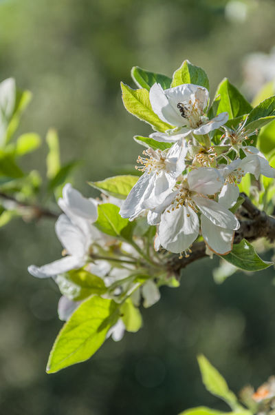 Almond Tree Almond Tree In Blossom Beauty In Nature Botany Depth Of Field Flower Flower Head Italia Mediterrean Nature New Life Petal Selective Focus Sicilia Spider Springtime Tiny Tiny Spider