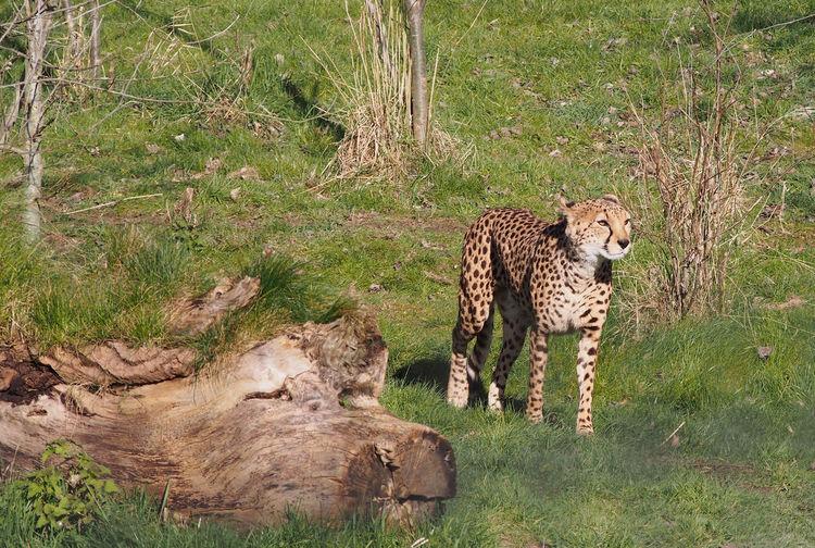 Cheetah Endangered Species Mammal Nature Stunning Wildlife Wildlife In Captivity Zoo