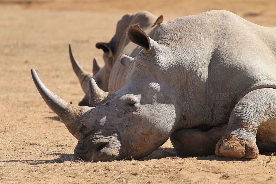 Falling Asleep Animal Themes Animal Wildlife Animals In The Wild Beauty In Nature Close-up Day Mammal Nature No People Outdoors Rhinoceros Sand Southern Africa Sunlight Swasiland