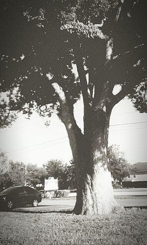 """""""Old tree"""""""