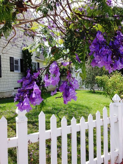 White Picket Fence California Flower Springtime Pink Color Purple Outdoors Front Or Back Yard Tree Blossom Beauty In Nature Grass Day