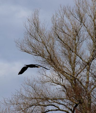 Cormorant Tree Low Angle View Plant Sky Branch Bird No People Animals In The Wild Nature Animal Animal Wildlife Beauty In Nature Tranquility Bare Tree Flying