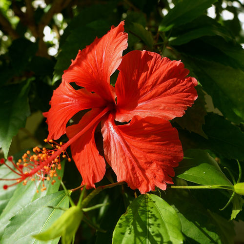 Beauty In Nature Blooming Close-up Day Day Lily Flower Flower Head Fragility Freshness Growth Hibiscus Leaf Nature No People Outdoors Petal Plant Red Stamen