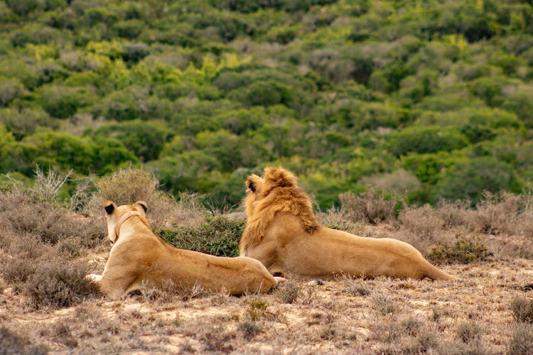 Lions relaxing on land
