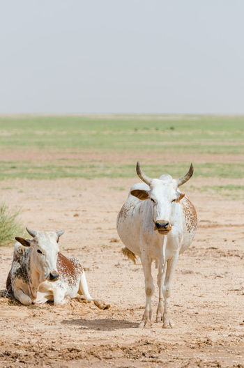 Two Cows Standing And Lying In Sahara Desert, Mauritania