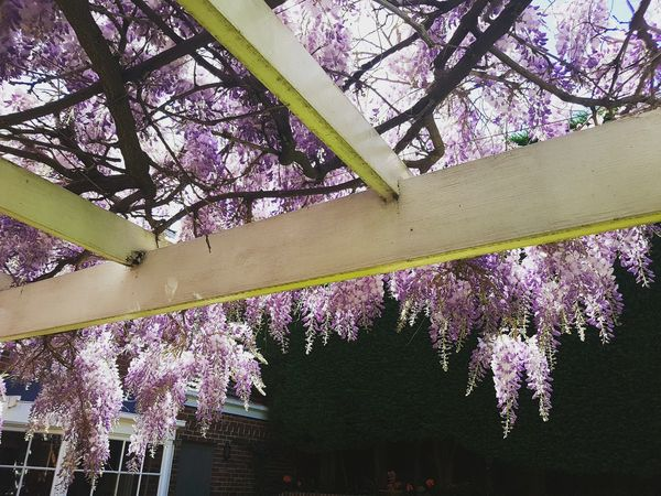 Growth Flower Beauty In Nature Day Springtime No People Fragility Freshness Wisteria Sinensis Wisteria In Full Bloom Wisteria Flowers Wisteria Trellis Purple Purple Flowers Spring Spring Flowers