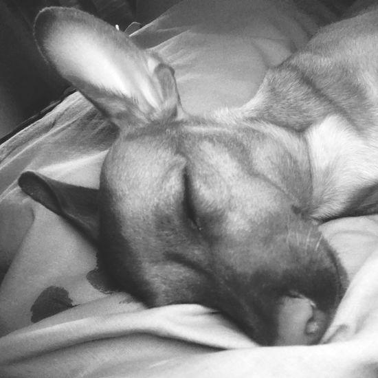 Sweet Dreams Mini Pincher Dog Mini Pinscher Pets One Animal Domestic Domestic Animals Animal Themes Animal Relaxation Dog Sleeping Canine