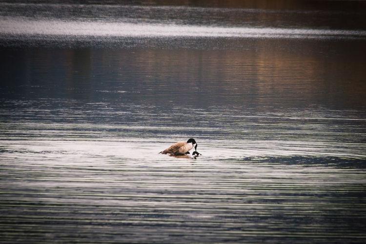 Dog swimming in lake