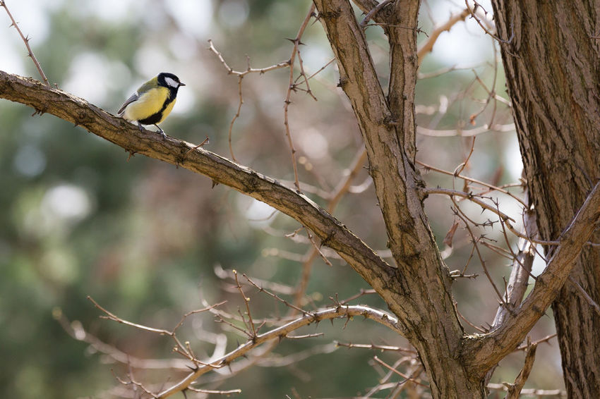 Animal Themes Animals In The Wild Bare Tree Bird Branch City Wildlife Focus On Foreground Great Titmouse Low Angle View Nature No People One Animal Outdoors Park Perching Selective Focus Spring Sunny Day Tree Tree Trunk Twig Wildlife