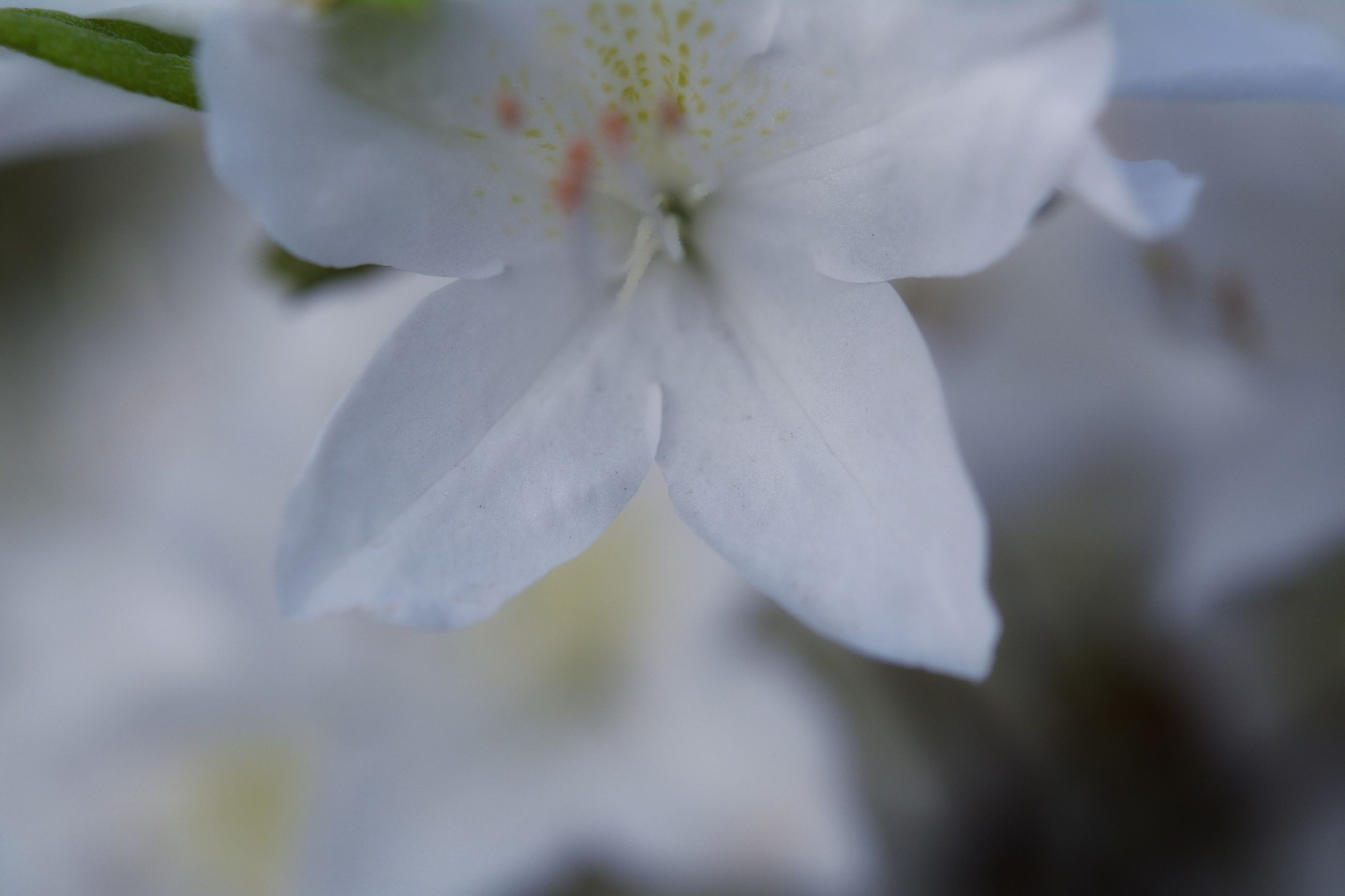 fragility, flower, petal, freshness, close-up, flower head, beauty in nature, growth, springtime, white color, blossom, season, focus on foreground, botany, nature, selective focus, in bloom, macro, stamen, softness, cherry blossom, single flower, pollen, pistil, extreme close-up, day, exotic, apple blossom, bloom, pink color