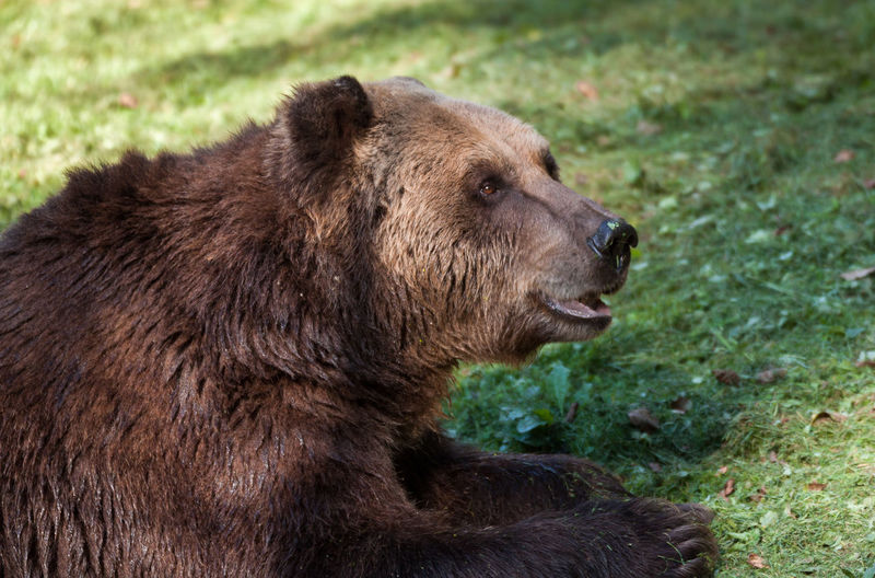 Four Paws Animal Head  Animal Nose Animal Protection Animal Rescue Animal Themes Brown Bear Brownbear Bärenwald Müritz Cruelty To Animals Delicious Enjoying The Sun Enjoyment Forage Foraging Forest Of Bears Müritz Freshness Grass Mown Grass Nibble Smell Smelling The Grass Smells Good Sunshine Zoology