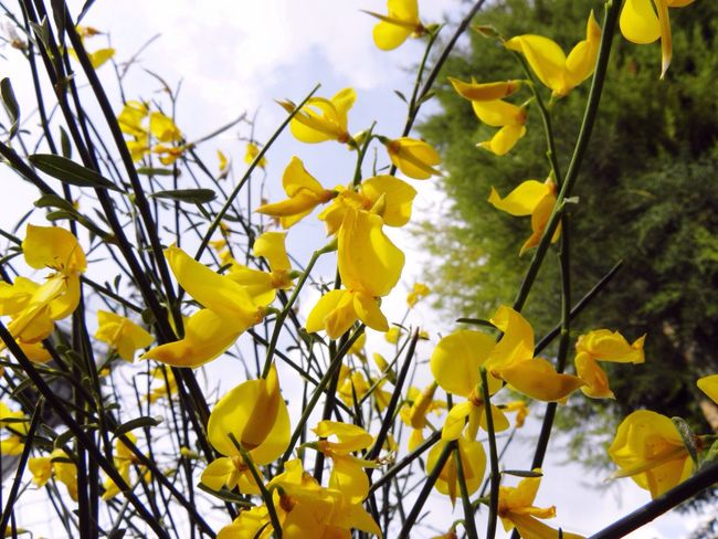 Yellow Nature Growth Branch Fragility Tree Beauty In Nature No People Outdoors Close-up Day Leaf Freshness Sky Springtime Spring Spring Flowers Yellow Flowers Broom Broomstick Brooms