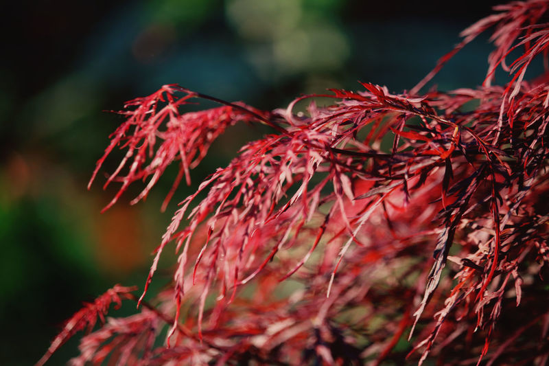 Close-up of red plant outdoors