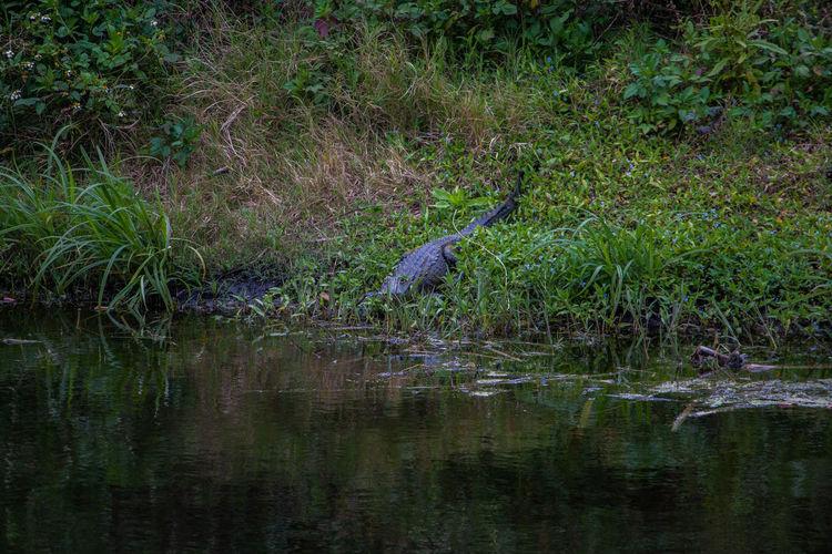 Gator Alligator Wadsworth Park Wild Animal Wildlife Reptile Water Florida Flagler Beach, Florida