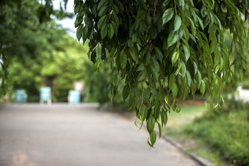 Beauty In Nature Botany Calm Close-up Day Focus On Foreground Green Green Color Growing Growth Leaf Leaves Lush Foliage Nature No People Outdoors Plant Route Scenics Selective Focus Seonyudo Sky Tranquil Scene Tree Walk